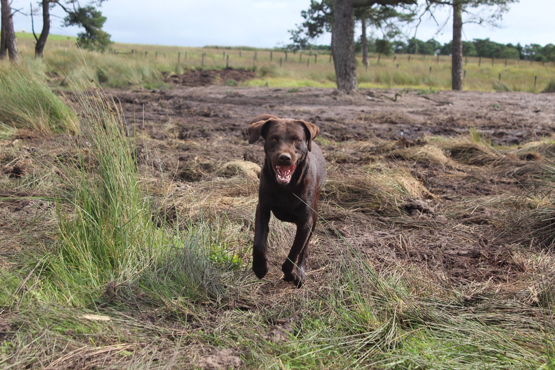 Chocolate Labrador Mid Run Across Scottish Fields